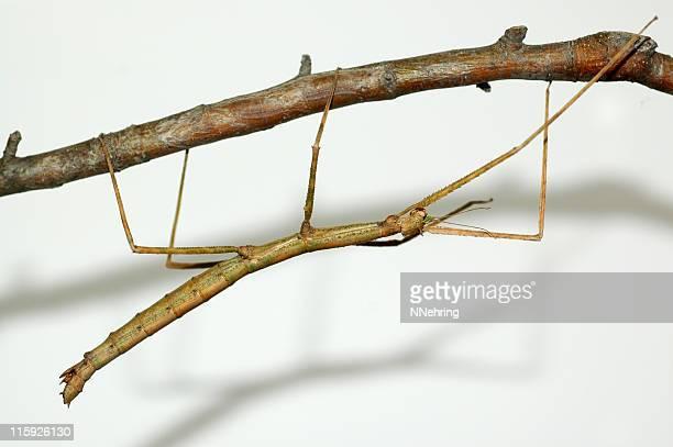 walking stick, Parapachymorpha zomproi