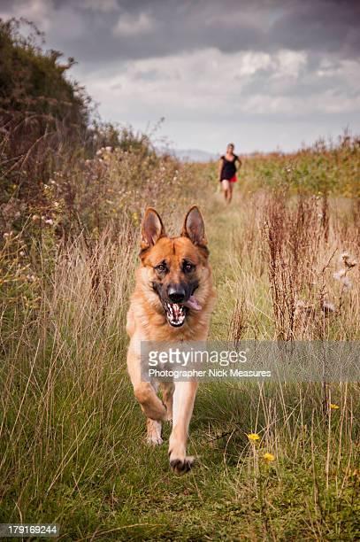 walking the dog - pastore tedesco foto e immagini stock