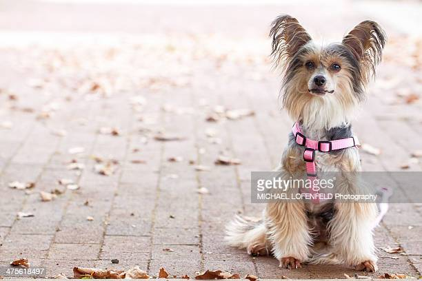 walking the dog - chinese crested dog stock photos and pictures