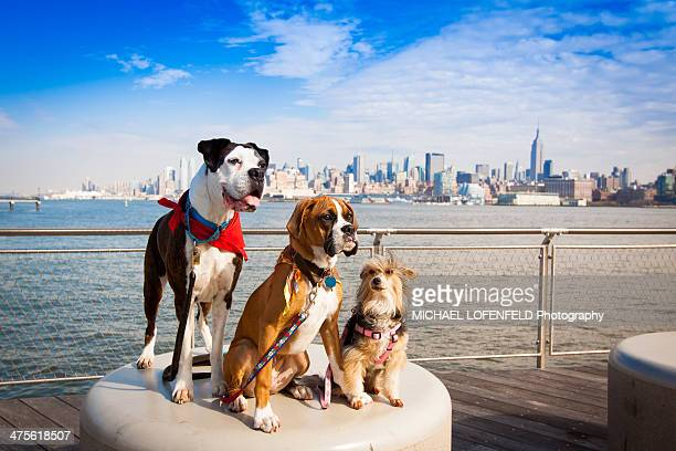 walking the dog - pack of dogs stock pictures, royalty-free photos & images