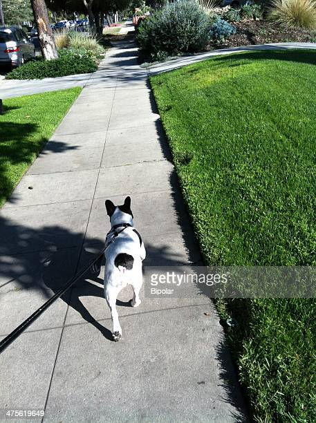 walking the dog - bulldog frances imagens e fotografias de stock