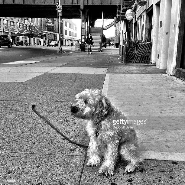 walking the dog - soft coated wheaten terrier stock photos and pictures