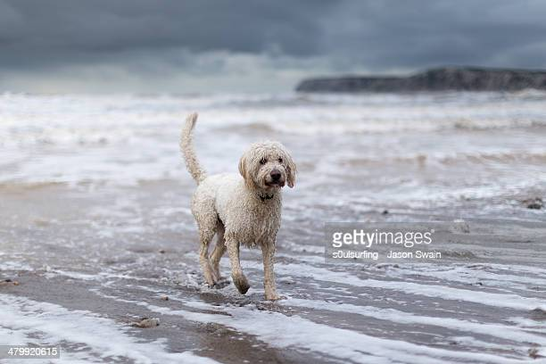 walking the dog - compton bay isle of wight stock pictures, royalty-free photos & images