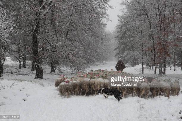 Walking the flock through a snowy forest