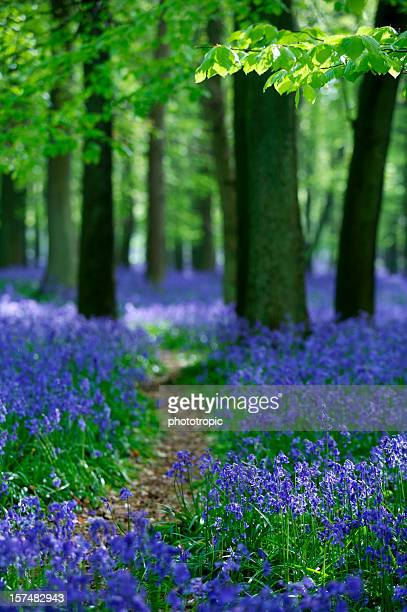 Walking through the bluebells