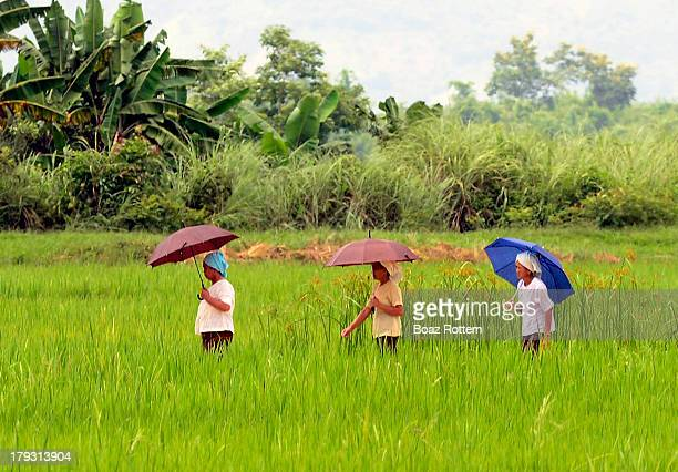 CONTENT] Walking through the paddy fields Photo taken in Eastern Myanmar
