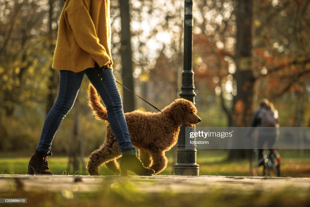 Walking time in the park for red poodle and its owner : Stock Photo