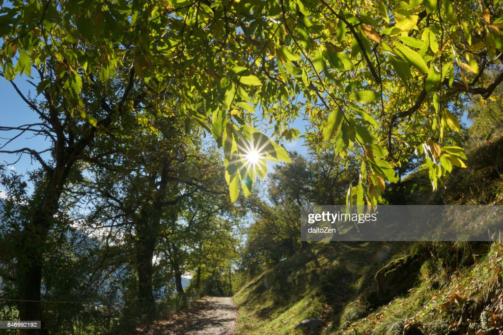 Sweet Chestnut Tree Stock Photos and Pictures Getty Images