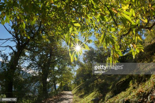 Walking trail through forest with old Sweet Chestnut trees, Alto Adige, South Tyrol, Italy