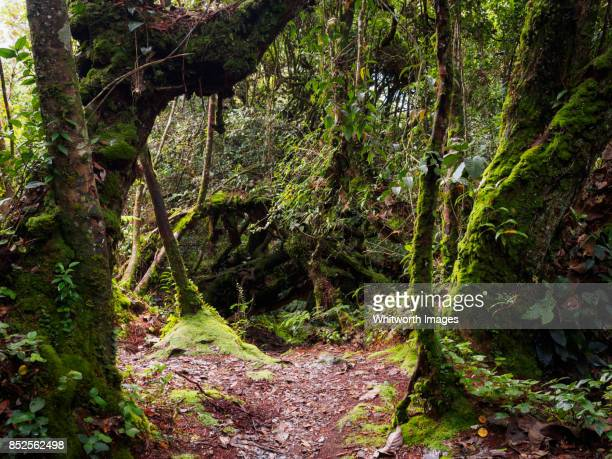 Walking trail through mossy jungle in the Cameron Highlands, Malaysia