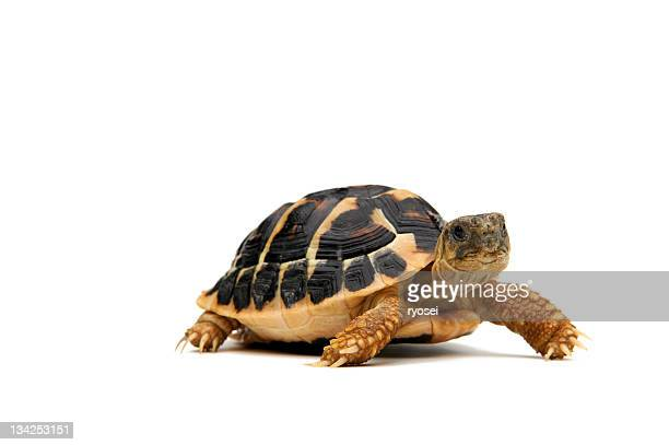 walking turtle - domestic animals stock pictures, royalty-free photos & images