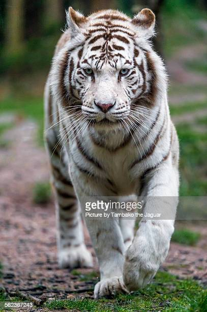 walking white tiger - white tiger stock photos and pictures