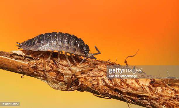 a walking woodlouse - potato bug stock pictures, royalty-free photos & images