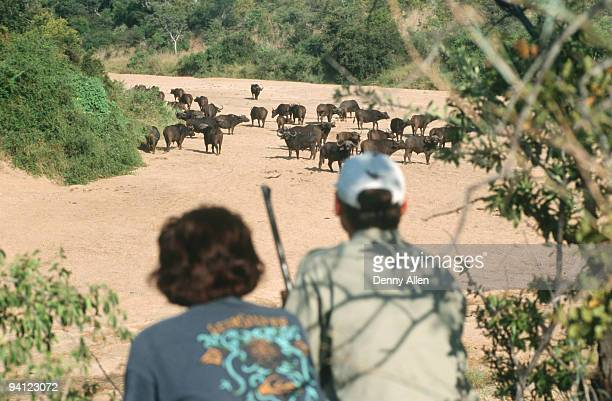 walking-safari with ranger watching buffalo herd (syncerus caffer), limpopo province, south africa - limpopo province stock pictures, royalty-free photos & images