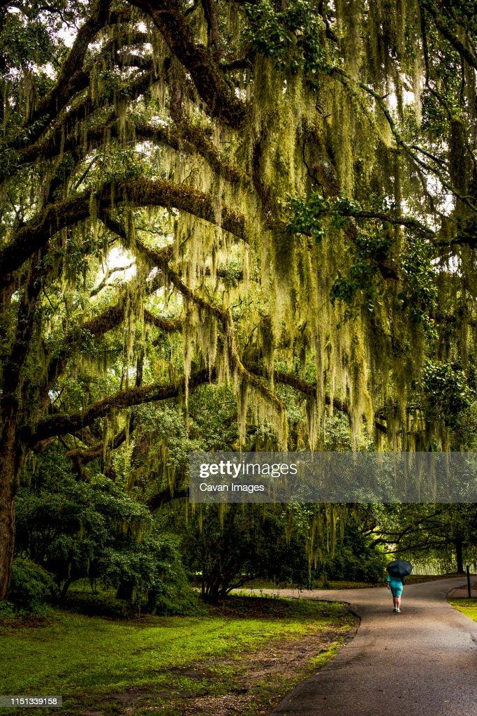 Walkway with Spanish Moss hanging from Live Oak : Foto de stock