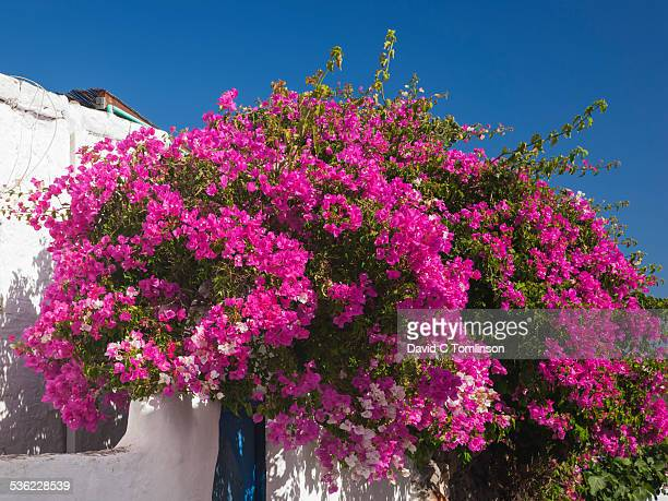 wall covered in bougainvillea, lahania, rhodes - bougainville stock photos and pictures