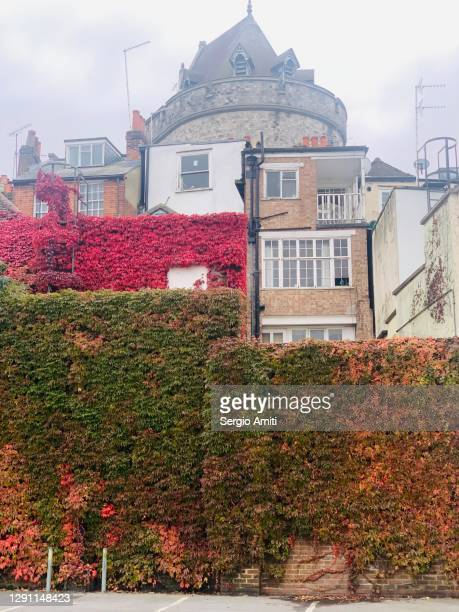 wall covered in virginia creeper - windsor england stock pictures, royalty-free photos & images