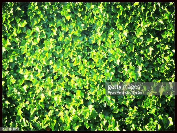 Wall covered with dense ivy leaves
