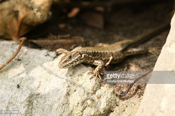 A Wall Lizard (Podarcis muralis) hunting for food on a stone wall.