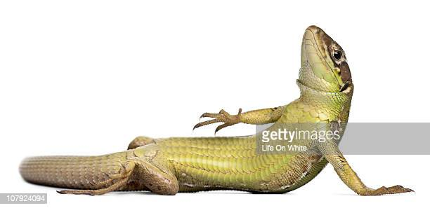 Wall lizard lying down - Podarcis muralis