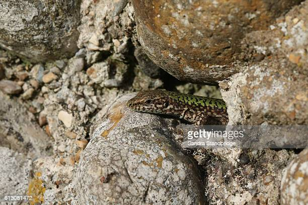 A Wall Lizard (Podarcis muralis) warming in the Sun.