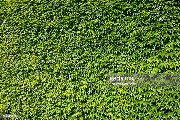 wall of ivy - eric van den brulle stock pictures, royalty-free photos & images