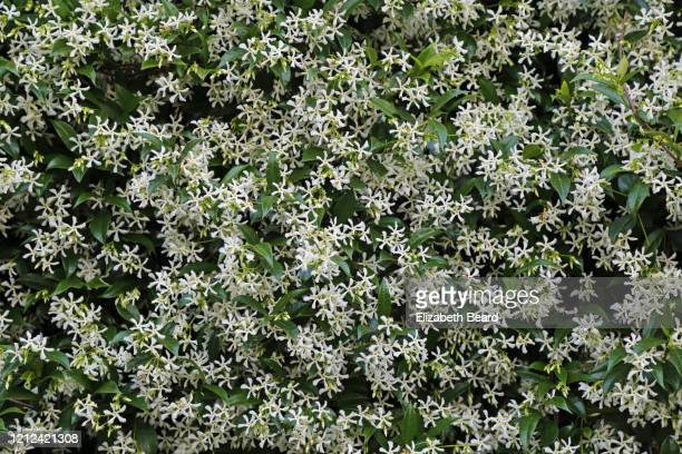 wall of jasmine, rome - jasmin bildbanksfoton och bilder
