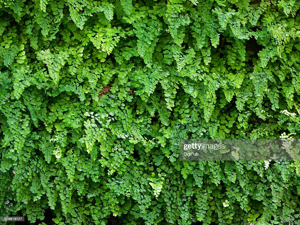 Wall of maidenhair ferns : Stock Photo