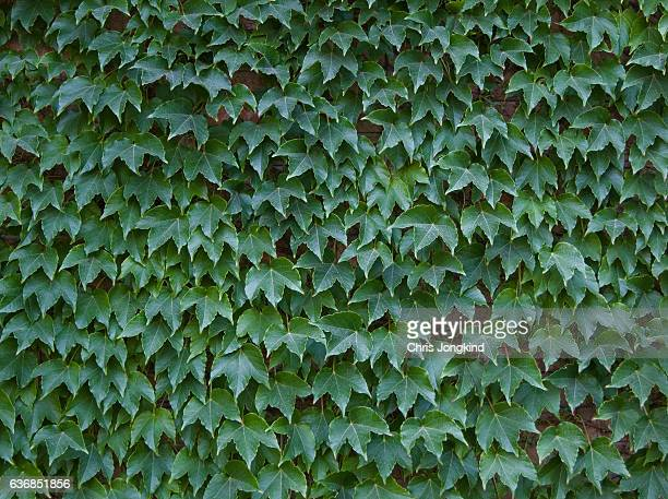 wall with ivy - ivy league university stock photos and pictures