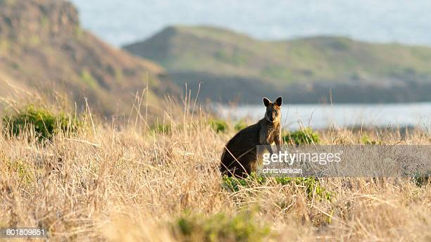 Wallaby at sunset, Summerlands, Victoria, Australia