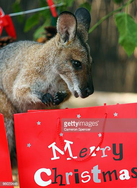 A wallaby enjoys a festive food Christmas treat at Taronga Zoo on December 23 2009 in Sydney Australia The Christmasthemed treats enrichment gifts...