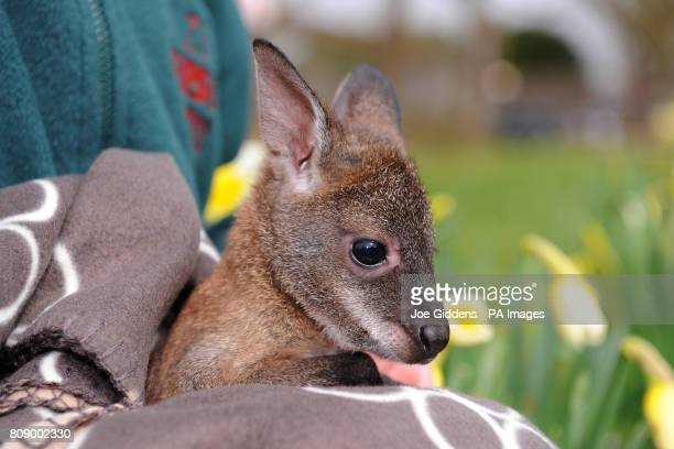 Wallaby joey Pip looks out of her rucksack at ZSL Whipsnade Zoo Dunstable Bedfordshire