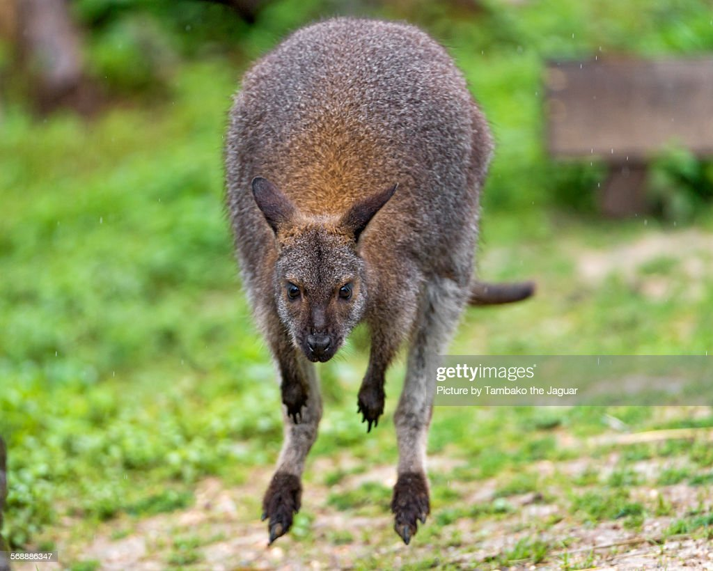 Wallaby jumping : Stock Photo