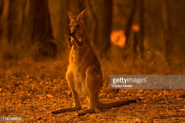 A wallaby licks its burnt paws after escaping a bushfire on the Liberation Trail near the township of Nana Glen on the Mid North Coast of NSW...