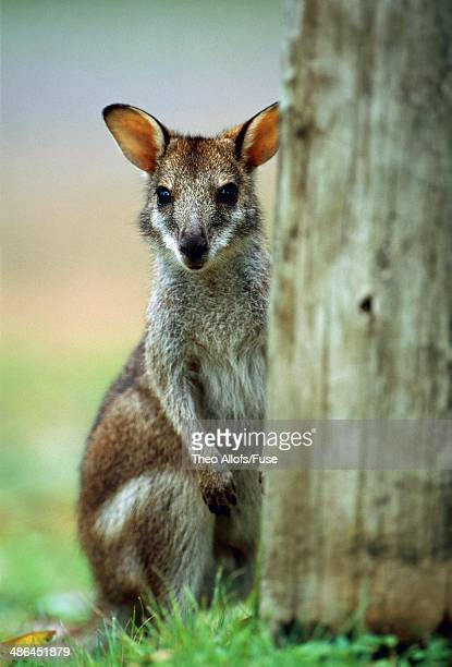wallaby - en:public_domain stock pictures, royalty-free photos & images