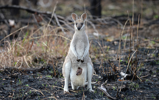 Wallaby with baby joey 476567786