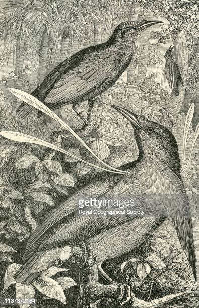 Wallace's standard wing male and female from 'The Malay Archipelago the land of the orangutan and the bird of paradise A narrative of travel with...