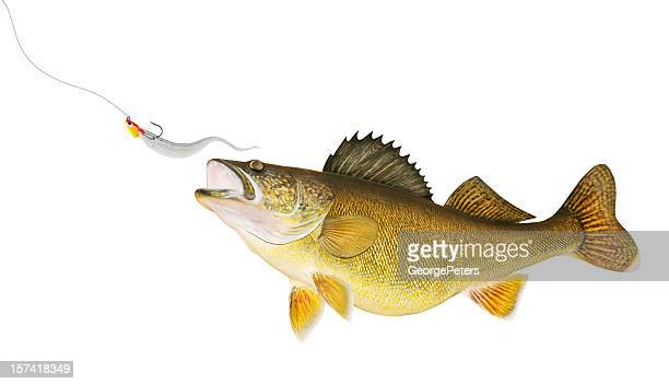 Walleye Chasing Lure