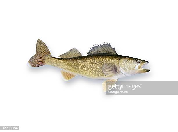 walleye - pike fish stock pictures, royalty-free photos & images