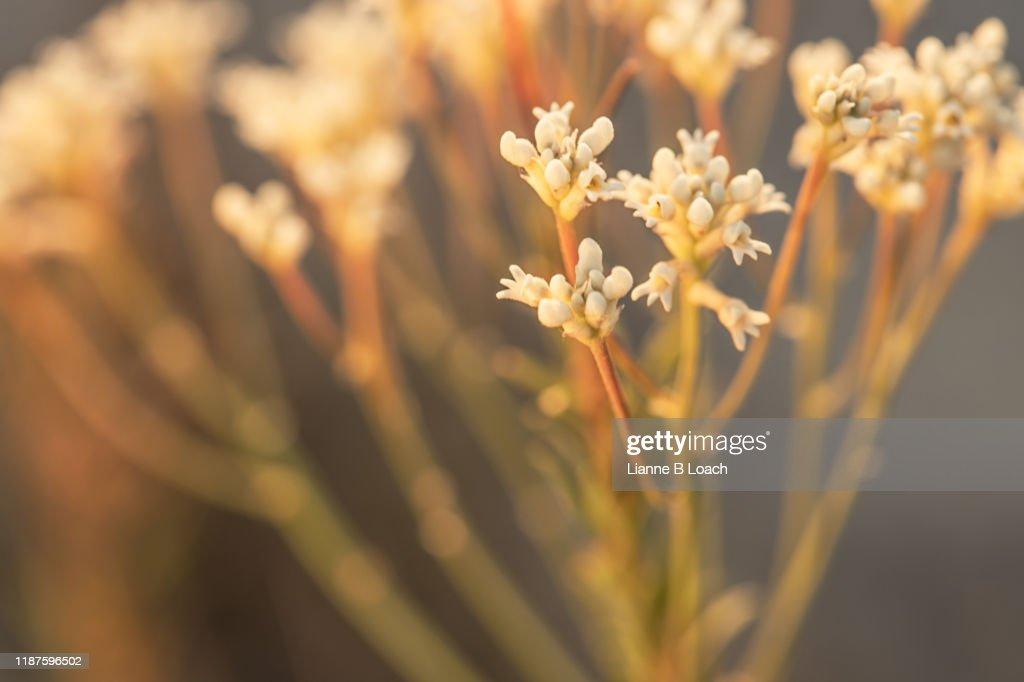 Wallum Wildflower : Stock Photo