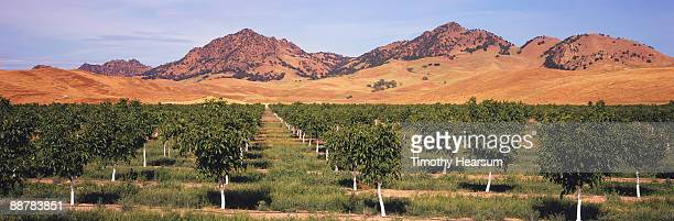 walnut orchard with sutter buttes in background - timothy hearsum ストックフォトと画像