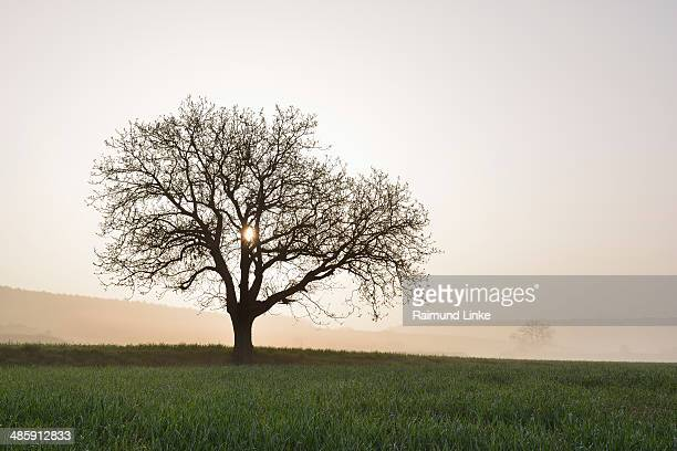 Walnut Tree in early Spring
