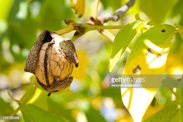Walnuts on Branch