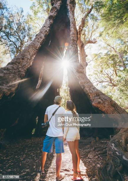 walpole giant tingle tree couple - western australia stock photos and pictures