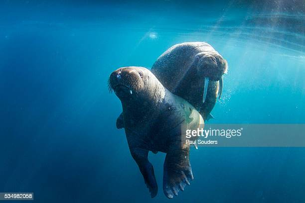 walrus and calf, hudson bay, nunavut, canada - walrus stock photos and pictures
