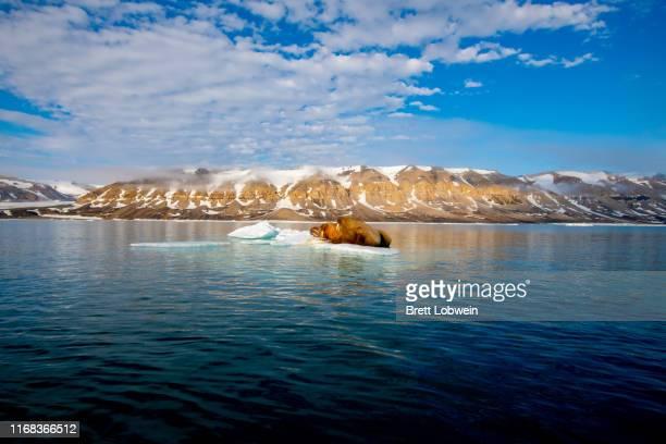 walrus bathed in sun - 北極 ストックフォトと画像
