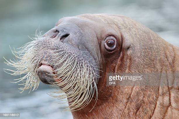 """Walrus 'Dyna"""" looks on in its enclosure in the Hagenbeck animal park in Hamburg, northern Germany, on March 31, 2013. AFP PHOTO / MALTE CHRISTIANS..."""