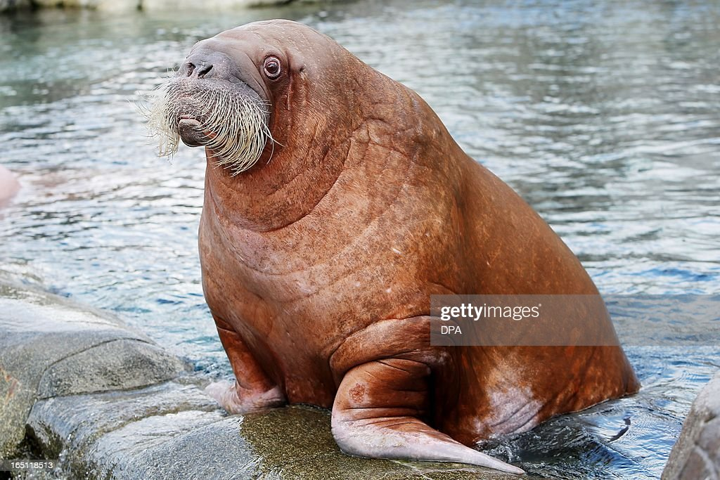 Walrus 'Dyna' stands in its enclosure in the Hagenbeck animal park in Hamburg, northern Germany, on March 31, 2013.