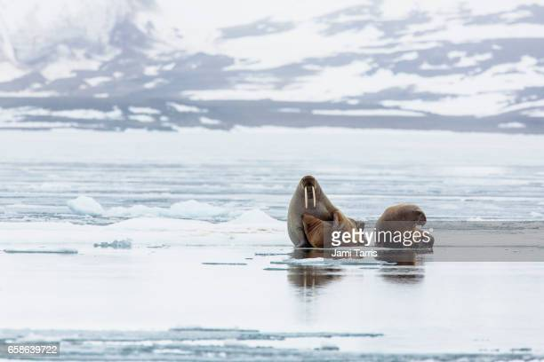A walrus feeding her young on an ice floe