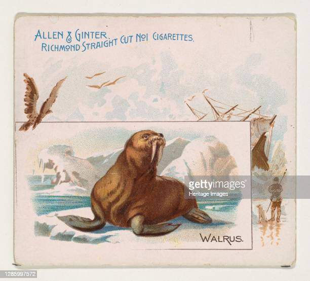 Walrus, from Quadrupeds series for Allen & Ginter Cigarettes, 1890. Artist Allen & Ginter.